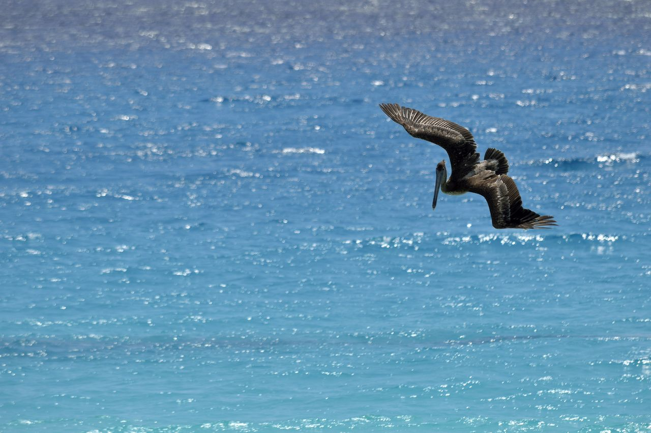 Pelican Flying Over Sea On Sunny Day
