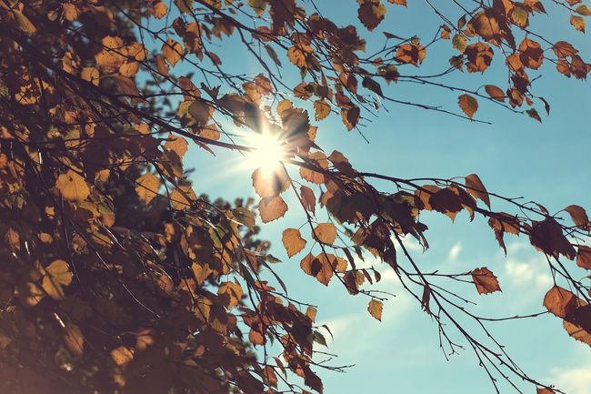 Sunflare Autumn Beauty In Nature Birch Bjork Eyeem Nature Eyeem Sweden Fujifilm FUJIFILM X-T2 Himmel Höst Kungshamn Leaf Leaves Lens Flare Low Angle View Nature Outdoors Sky Sol Sun Sunflare Sunlight Taking Photos Tree X-t2