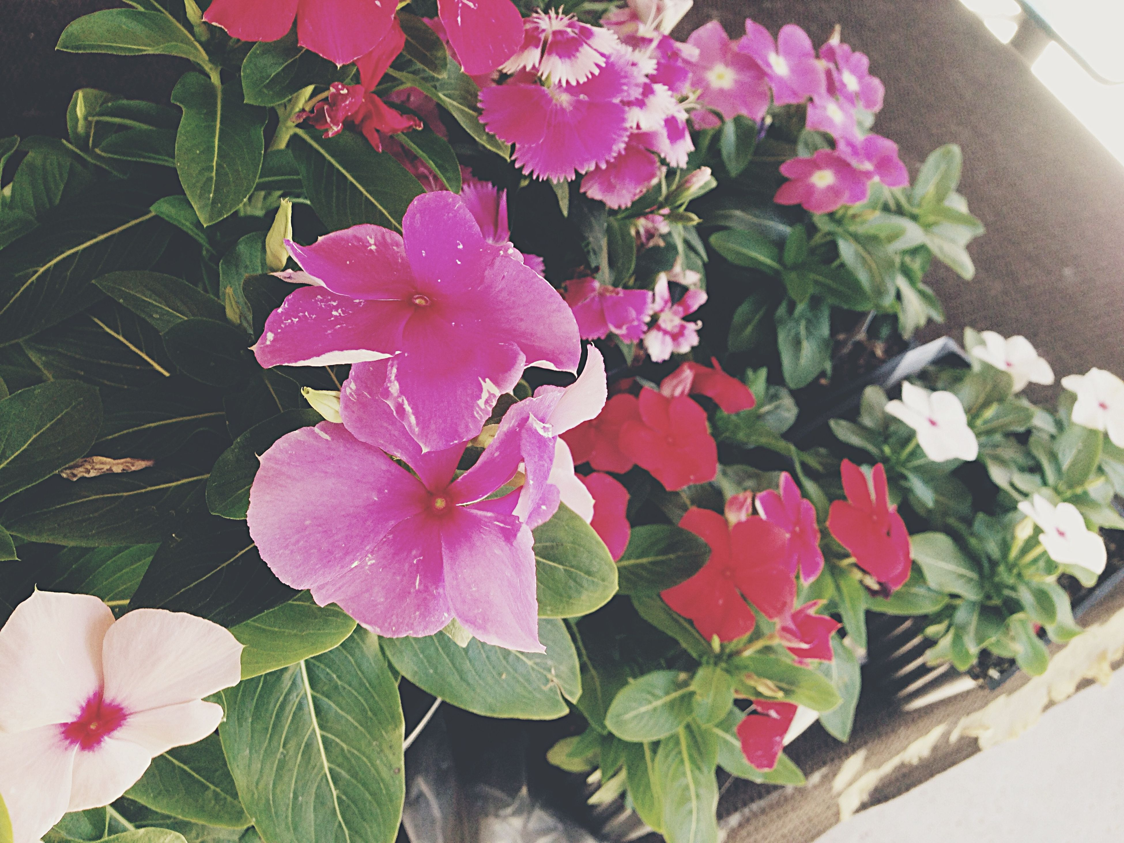 flower, petal, freshness, fragility, leaf, flower head, growth, pink color, beauty in nature, plant, high angle view, blooming, nature, close-up, day, outdoors, in bloom, no people, potted plant, front or back yard