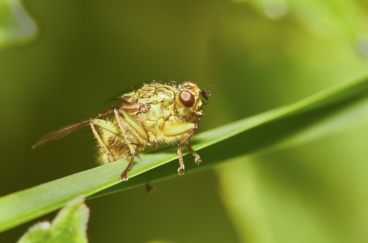 Yellow Dung Fly Front Animal Themes Animal Wildlife Animals In The Wild Close-up Day Grass Green Color Insect Leaf Nature No People One Animal Outdoors Plant Spring Yellow Dung Fly