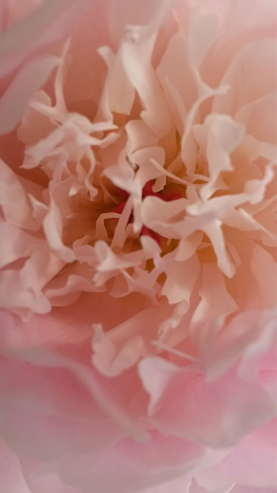 Flowers coeur de Pivoine