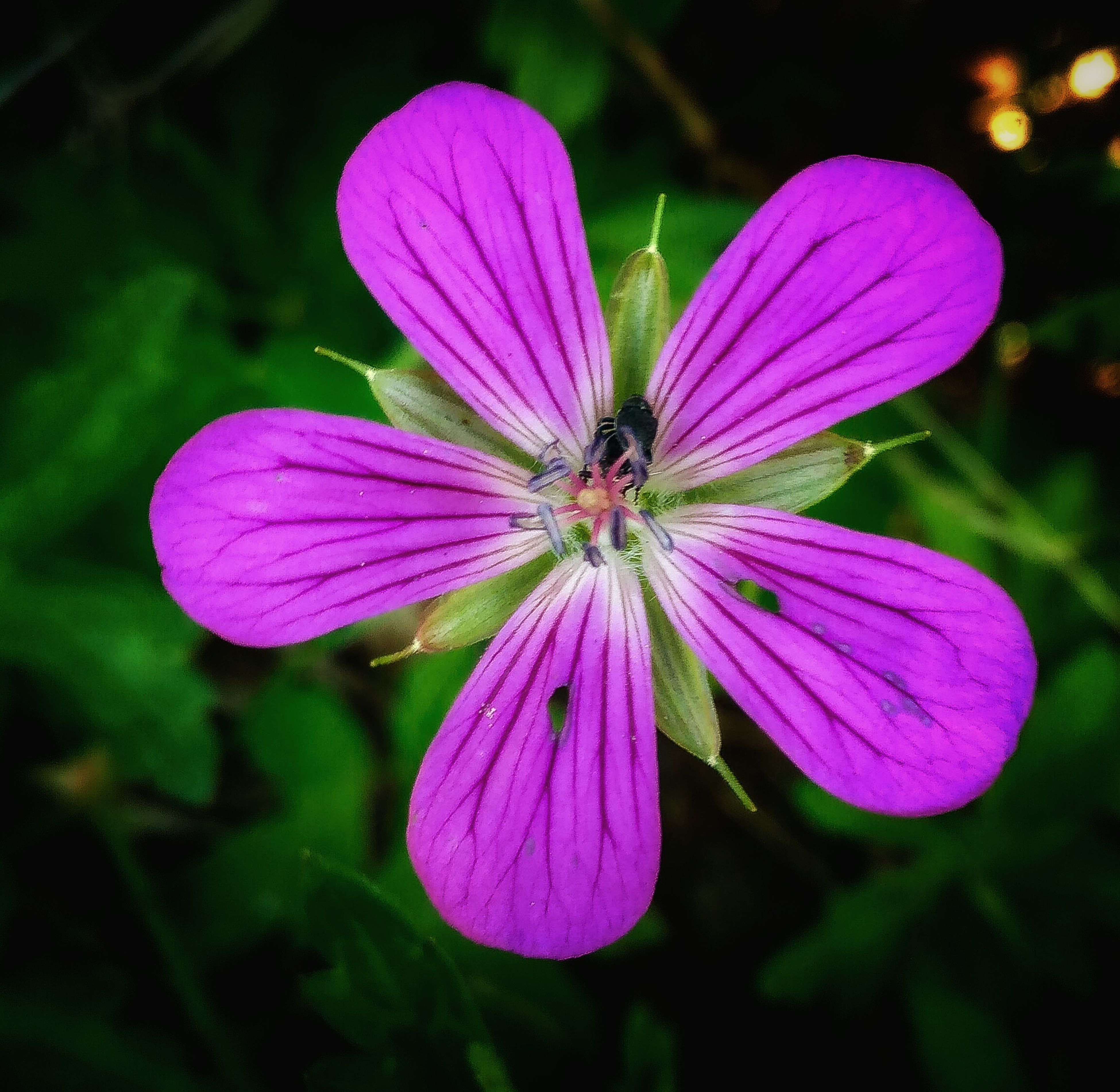 flower, purple, freshness, petal, fragility, flower head, close-up, beauty in nature, growth, focus on foreground, nature, pollen, blooming, stamen, plant, in bloom, pink color, outdoors, day, no people, blossom, botany, selective focus, natural pattern, blue, softness