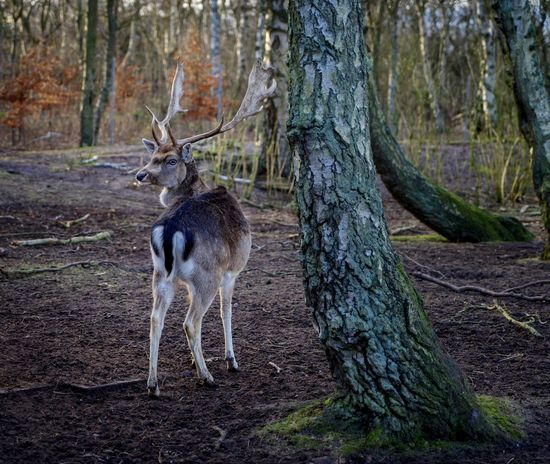 Animal Themes Animal Wildlife Animals In The Wild Antler Beauty In Nature Damwild Day Deer Forest Mammal Nature No People One Animal Outdoors Stag Tree Tree Trunk Nobody The EyeEm Collection Selected for Premium Collection