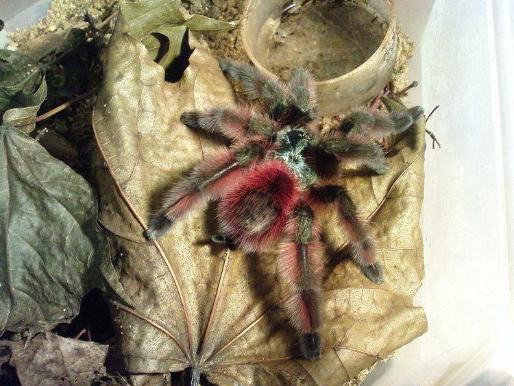 Avicularia Versicolor Animal Themes Close-up Colored Spider Nature No People Spider Terrarium Versicolor