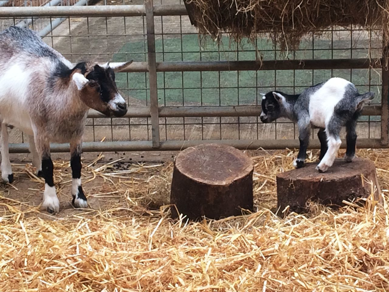 Nanny goat and her kid. Farm Animals Zoo Goat