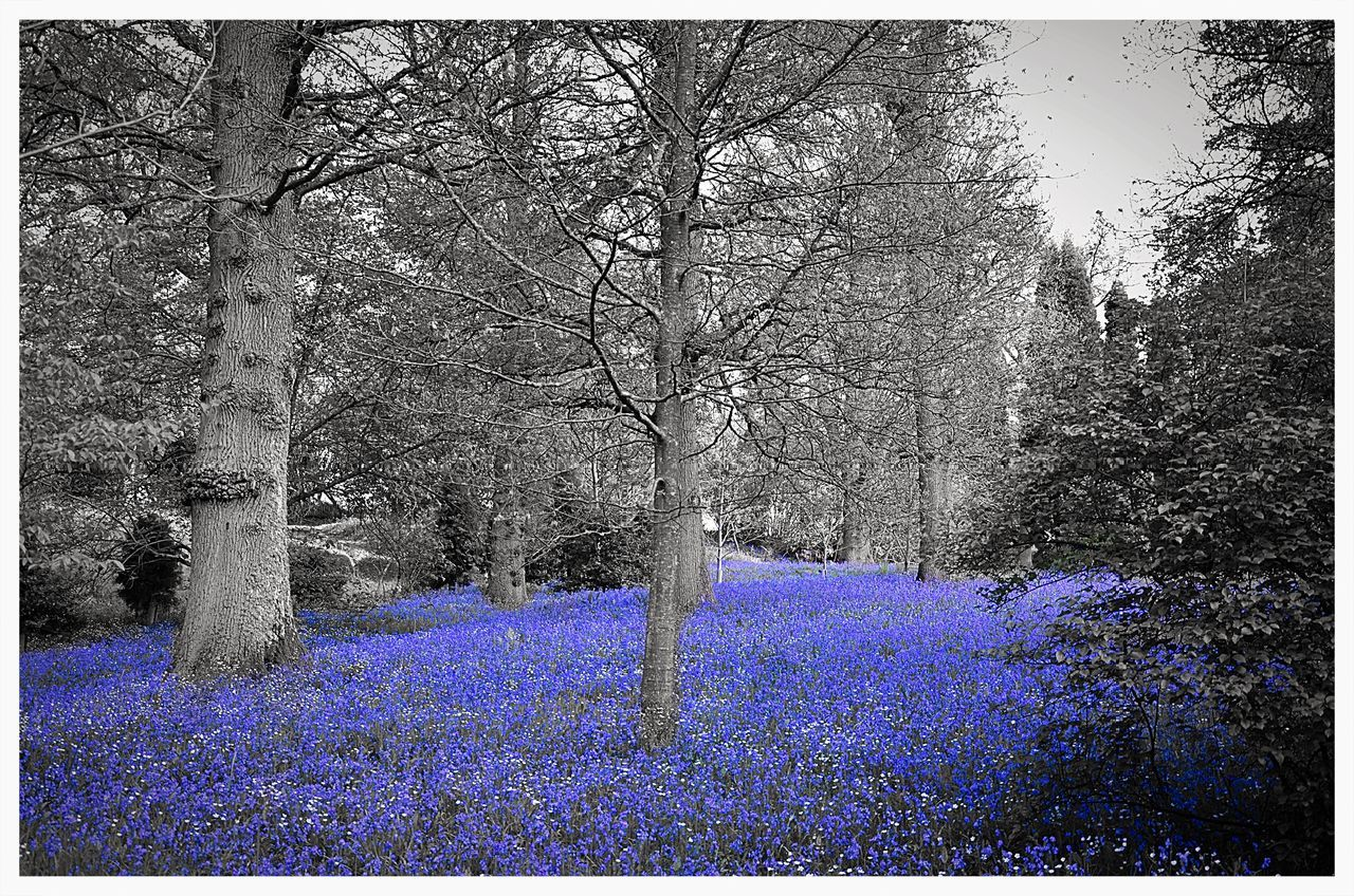 Beauty Beauty In Nature Bluebell Bluebell Wood Bluebells Flowers Flowers, Nature And Beauty Flowers,Plants & Garden Nature No People Outdoors Purple Purple Flower Tree Tree Tree Trunk Trees WoodLand