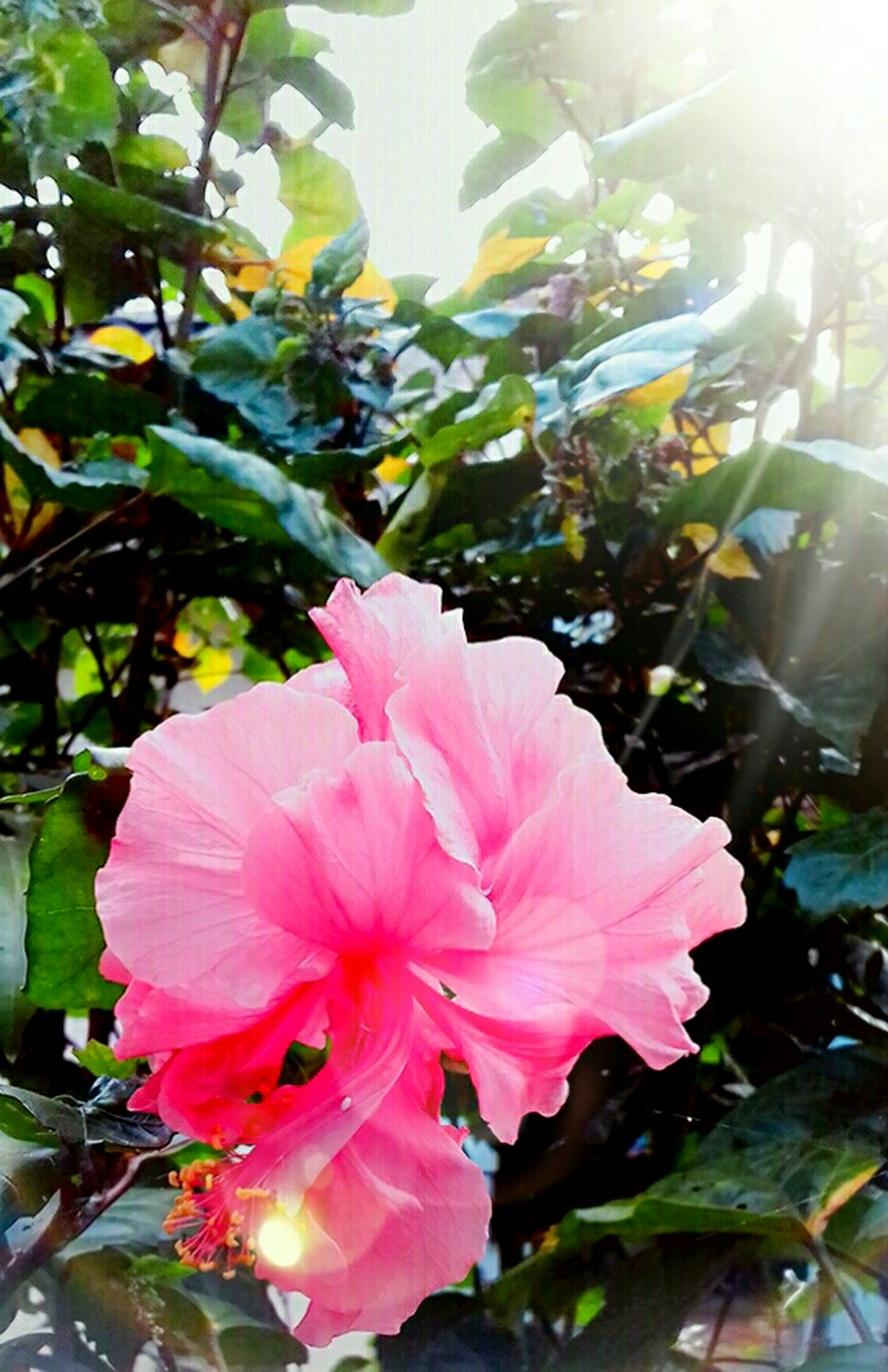 flower, petal, growth, pink color, nature, beauty in nature, flower head, fragility, plant, no people, day, blooming, outdoors, sunlight, leaf, freshness, close-up, hibiscus, periwinkle