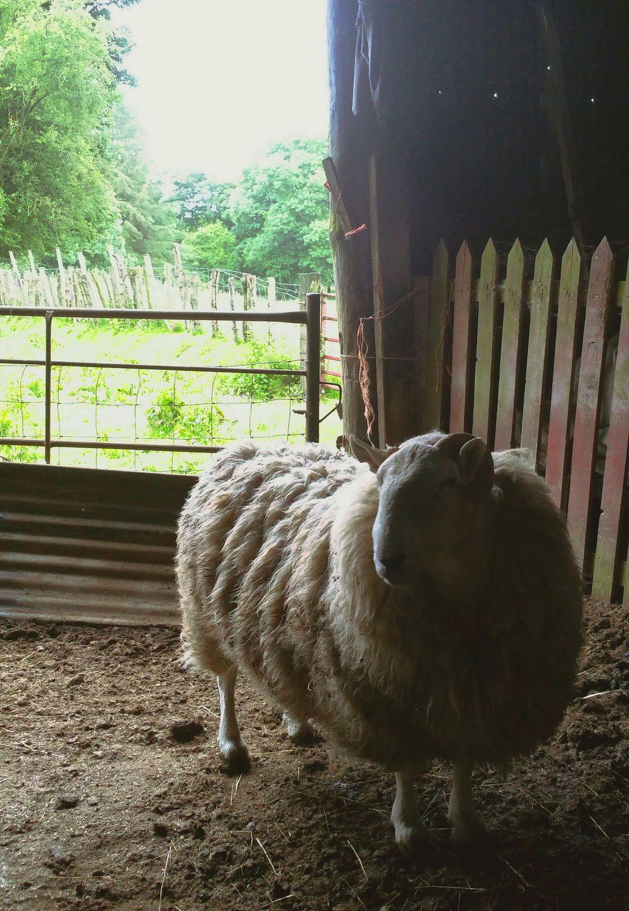 ... a portrait of a RAM ... Sheep Tup Animals Barn Farm Countryside Rural Wales Ovis Aries Ovelhas Ovelles баран