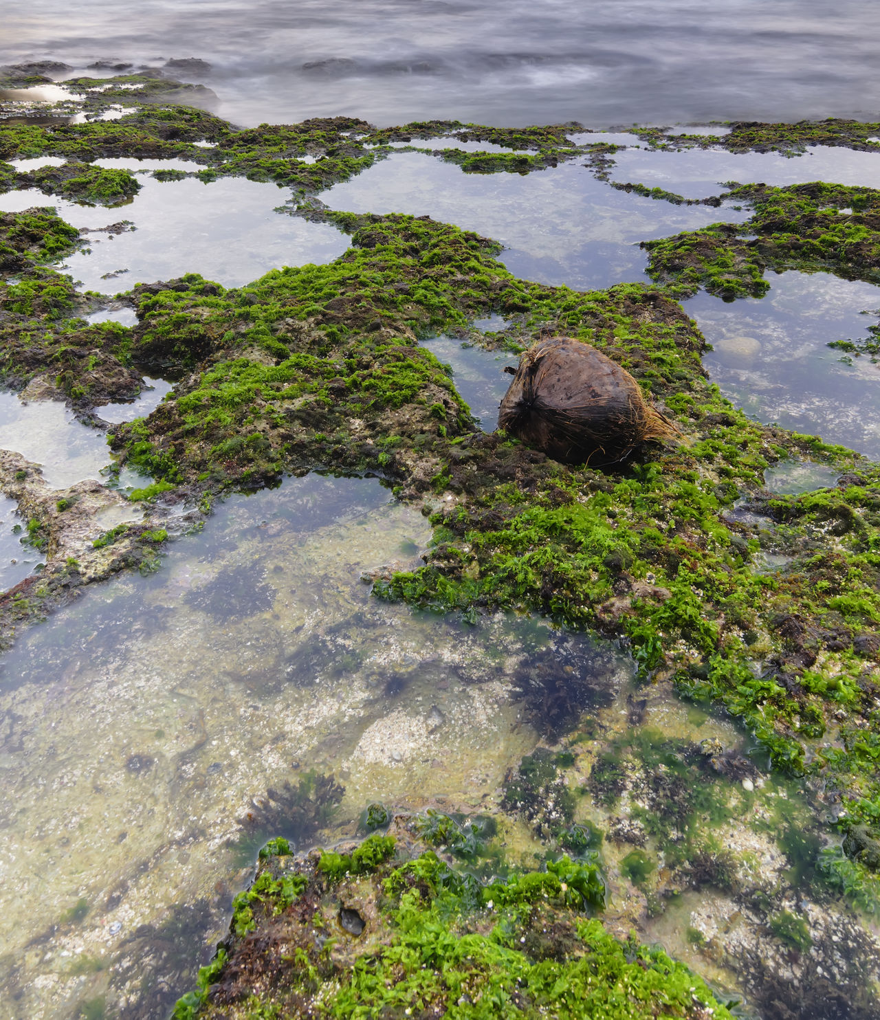 A coconut on the green nature mossy on the rocky beach during sunrise. Nature composition. Beauty In Nature Coconut Day Green Growth High Angle View Mossy Beach Nature No People Outdoors Rocky Beach Scenics Tranquility Water