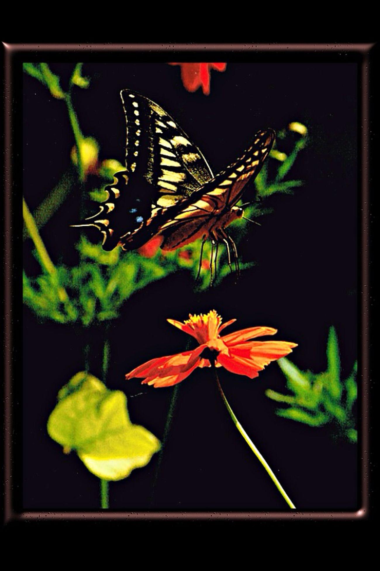 アゲハ蝶 Butterfly Tadaa Community Imari 勝蝶 蝶
