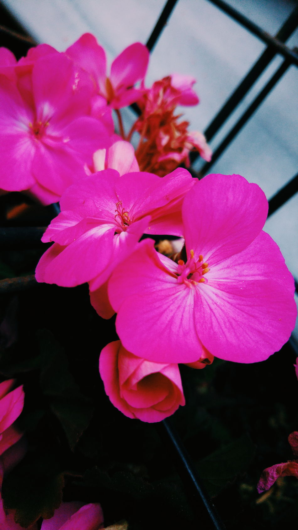 Flower Petal Flower Head Fragility Nature Pink Color Close-up Growth Freshness Orchid No People Beauty In Nature Pollen Day Outdoors Lg G4 Photography Lgg4camera Looking At Camera Built Structure Adults Only Architecture Transportation Green Mountain Highway