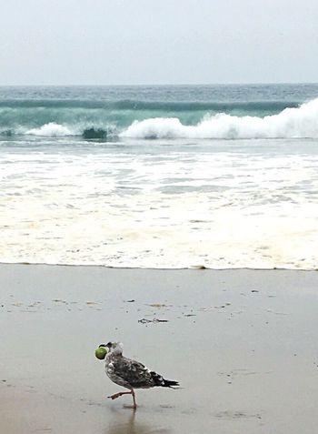 Tennis Anyone? Beach Bird & His Ball Beachphotography Beachbird Playa #beach