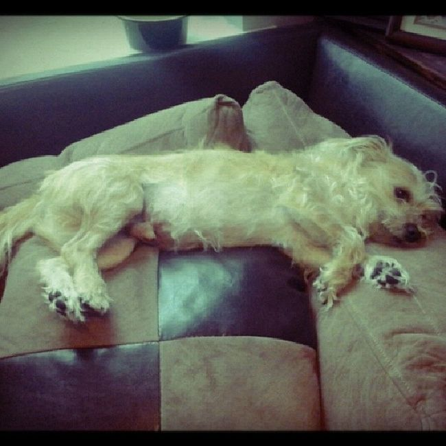 Someone has the life!! Stanleymuffins Obsessedwithmydog Obsesssed Lovemydog dogstagram muffinsgalore