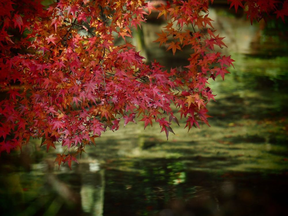 Kyoto Japan ASIA Yase Rengeji Temple Beauty In Nature Leaf Tree Nature Day Growth Close-up Water Autumn Olympus PEN-F