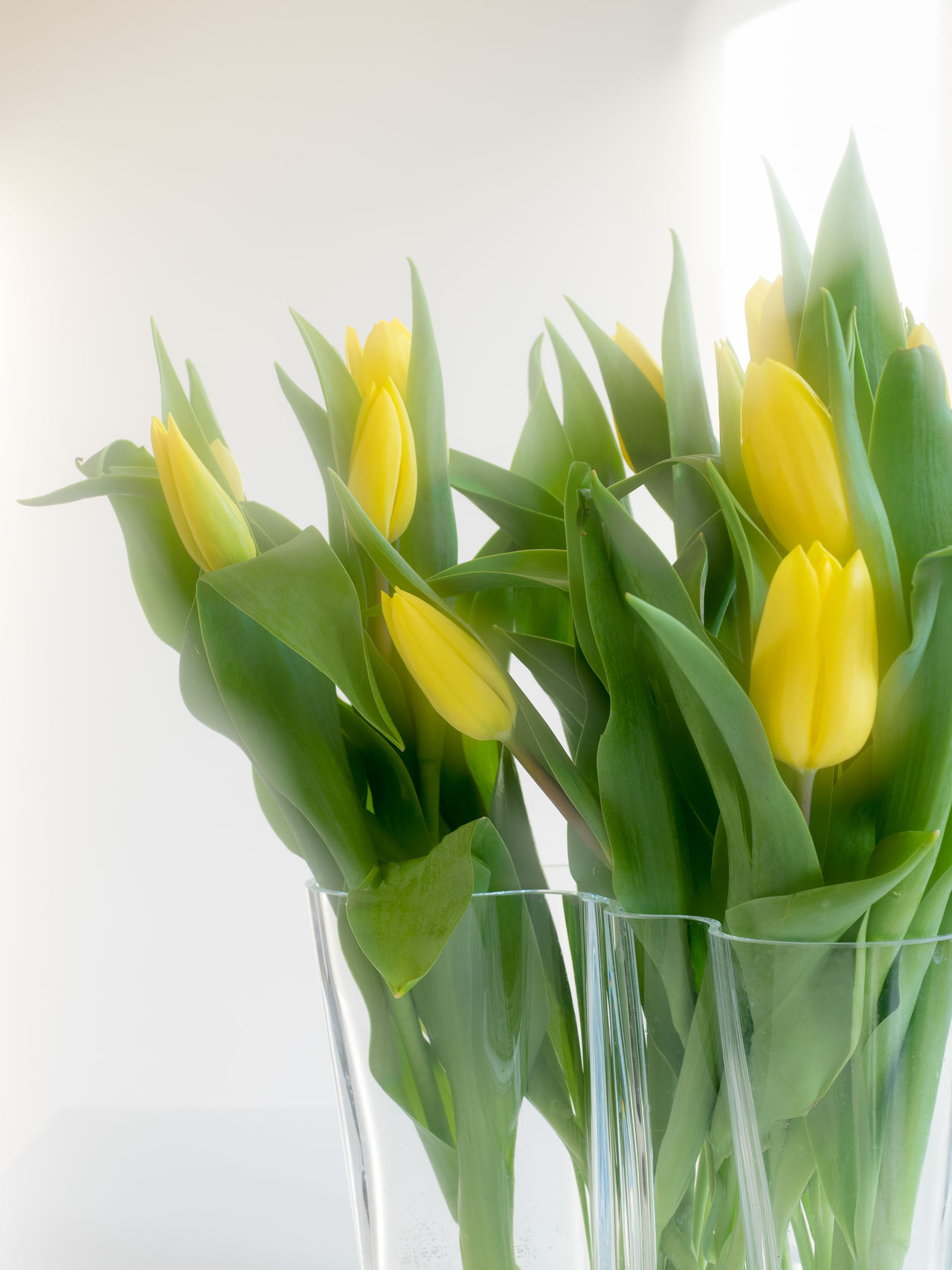 Yellow Tulips in a Glass Vase on White Background Close-up Flower Flower Head Freshness Green Color No People Spring Sunny Day Tulips White Background Yellow Color Yellow Flower