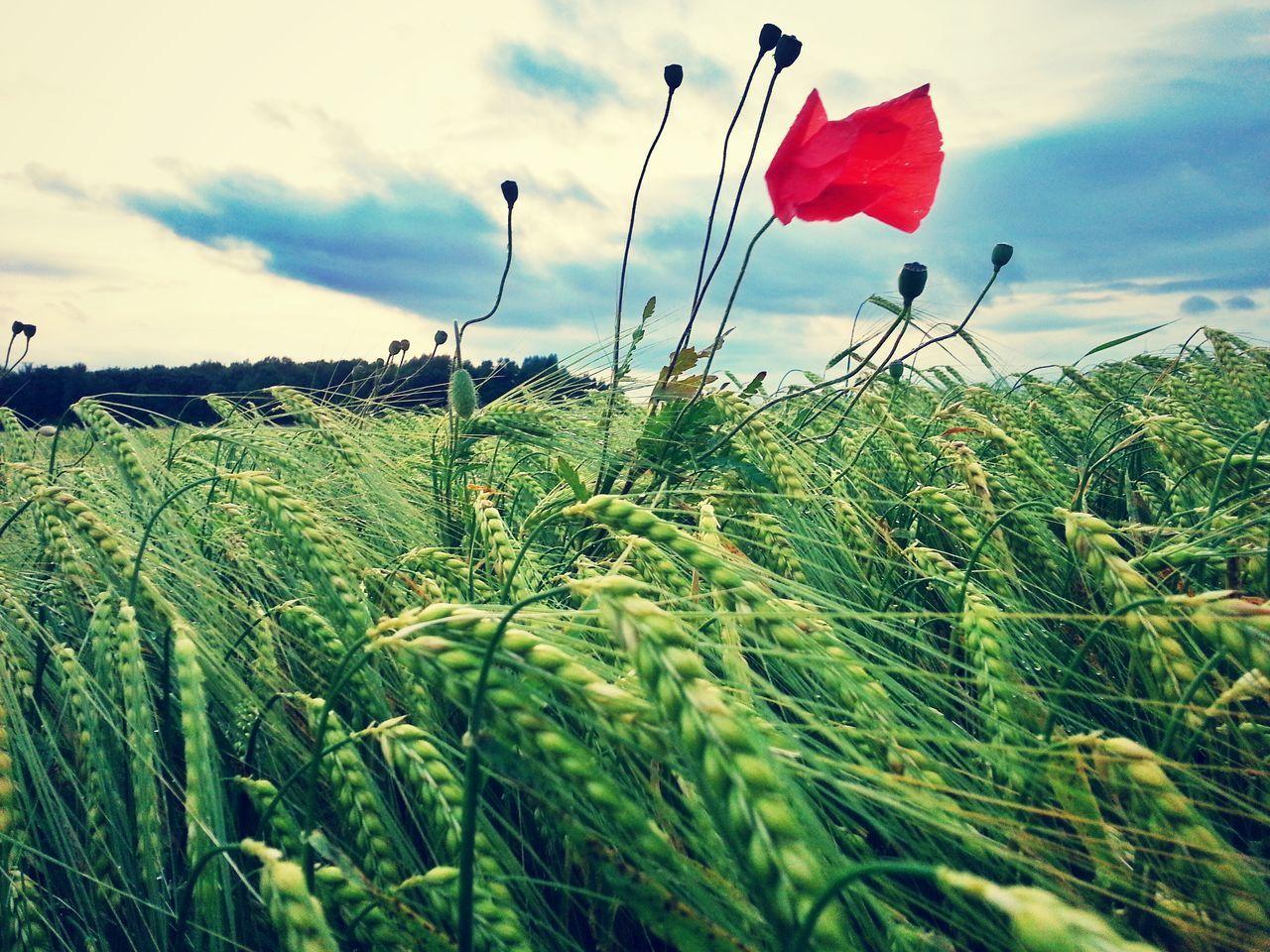 Allgäu Deutschland Field Germania Germany Green Gräser Grün Mohnblume Nature Nature Outdoors Papavero Plant Poppy Poppy Flowers Tranquility Verde