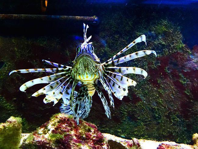 Lion Fish Mufasa Saltwater Saltwatertank Saltwaterfish Fish Tank