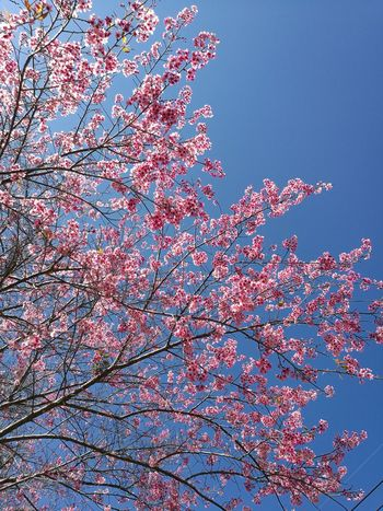 Low Angle View Sky Tree พญาเสือโคร่ง Himalayan Cherry Blossom Thai Sakura Beauty In Nature Branch Tree Outdoors