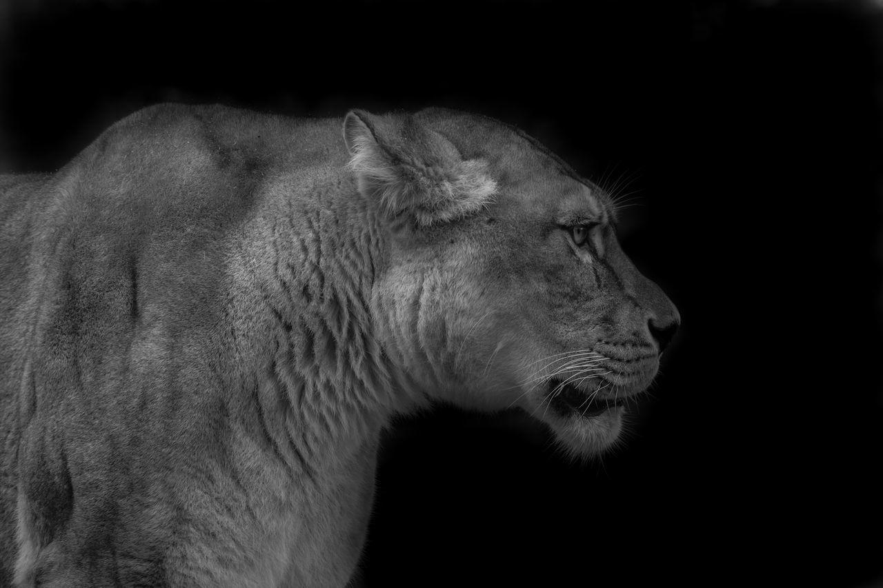 Animal Animal Themes Black Background Blackandwhite Feline Feline Portraits Fierce Greyscale Lion Lion - Feline Lioness Mammal No People One Animal