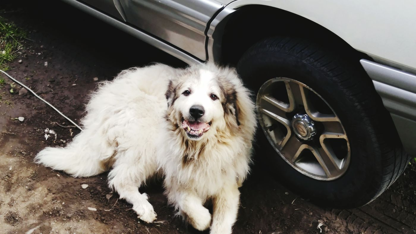 Dogs always seem so happy. Dog Dogs Looking At Camera One Animal Pets Tire Car No People Wheel Outdoors Day Land Vehicle Great Pyrenees White Dog Romulus Happy Dog