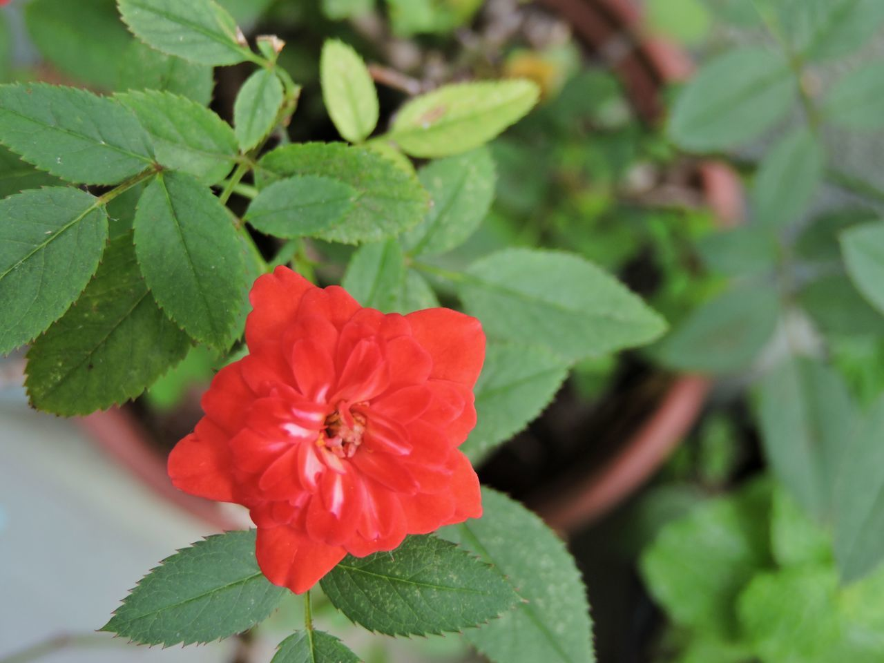 leaf, flower, plant, growth, petal, nature, beauty in nature, green color, fragility, freshness, red, flower head, no people, blooming, close-up, outdoors, day, hibiscus, animal themes, periwinkle