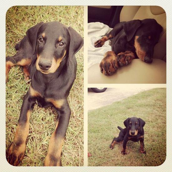 LOLLAAA PuppyLove Pup Cuteness Dobe doberman