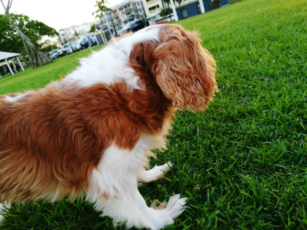 pets, domestic animals, dog, grass, animal themes, mammal, one animal, green color, brown, day, outdoors, no people, cavalier king charles spaniel, nature, close-up