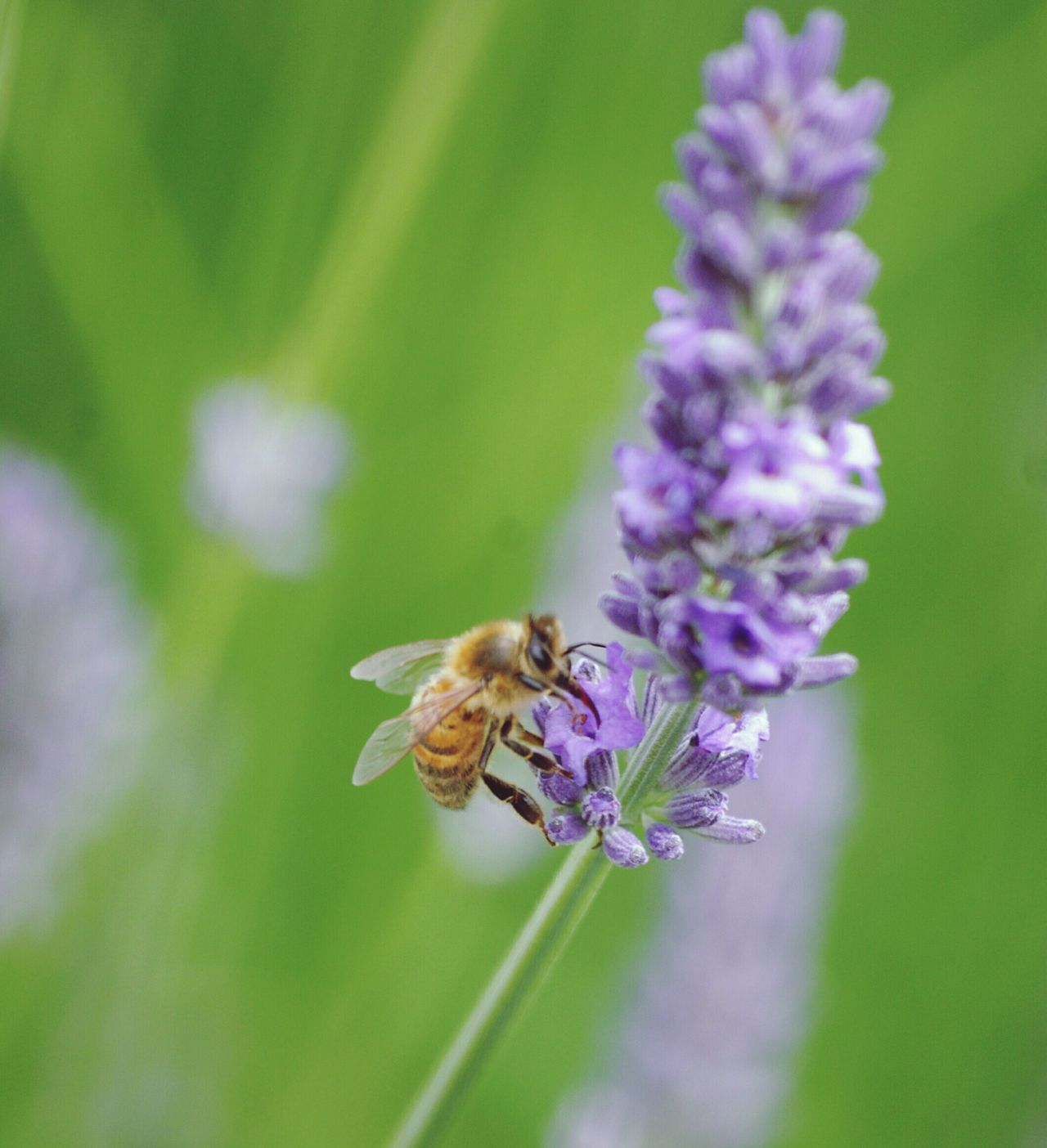 Long Tongue Sipping Nectar Lavenderflower Red Tongue Hony Bee Freind Of The World Hardworking Bee Nature Nature On Your Doorstep Summer Memories 🌄 Working In My Garden Insect Macro Nature