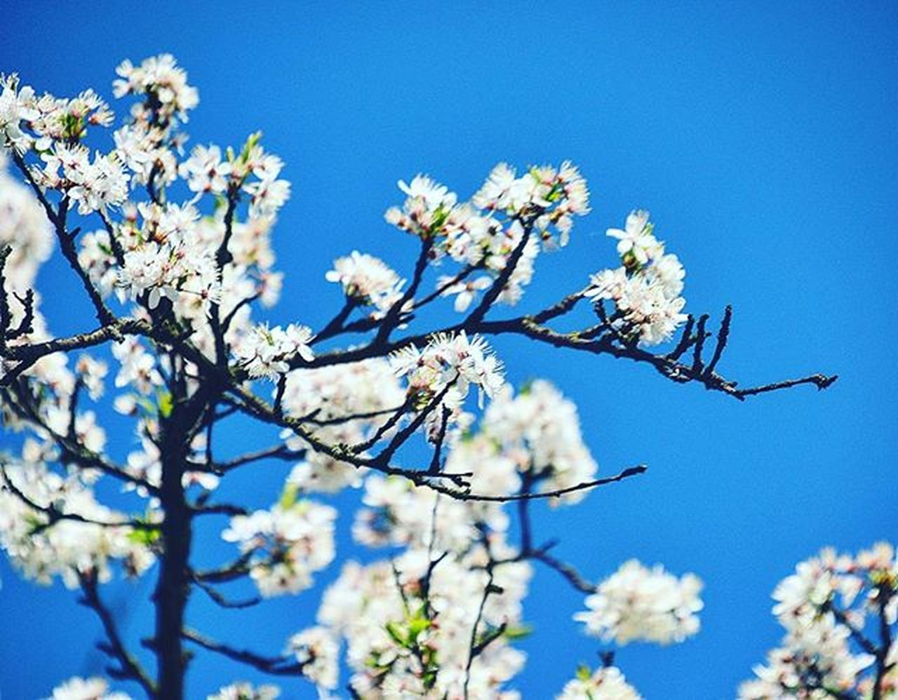 flower, fragility, blossom, springtime, beauty in nature, growth, freshness, nature, tree, branch, apple blossom, low angle view, clear sky, botany, twig, apple tree, day, blue, no people, white color, outdoors, petal, sky, close-up, flower head, blooming