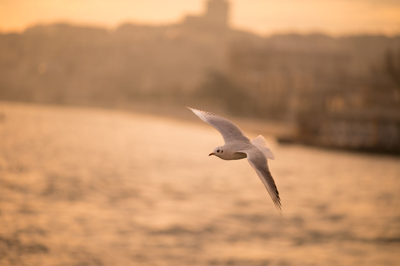 Seagull in Flight. Manual Focus Perfection Animal Themes Animals In The Wild Bird Bird Photography Birds Birds In Flight 43 Golden Moments The OO Mission Fine Art Photography The Great Outdoors - 2016 EyeEm Awards Nature's Diversities flight Flying Golden Hour Istanbul Mid-air Color Palette Nofilter One Animal Seagull Spread Wings Landscapes With WhiteWall