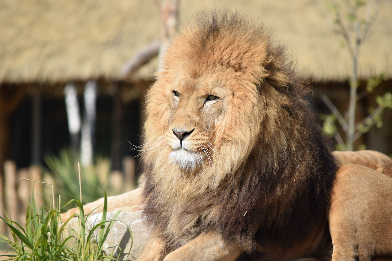 lion Animal Themes Animals In The Wild Close-up Day Feline Focus On Foreground King Lion Lion - Feline Mammal Nature No People One Animal Outdoors Plant Portrait Powerful Rock Strong