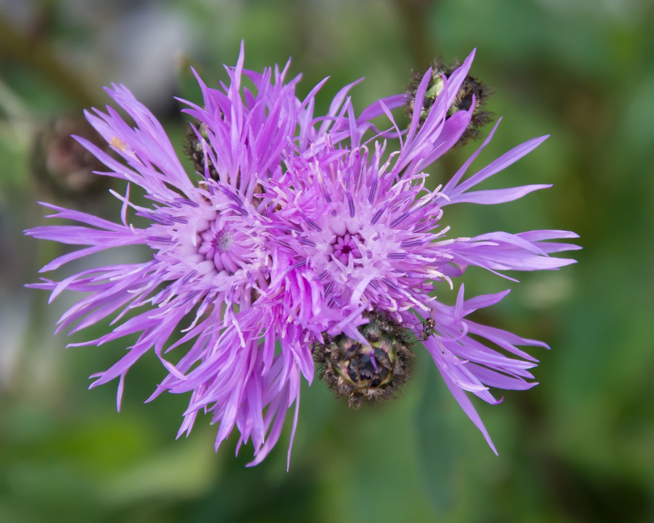 Cardo Close-up Color Palette Flower In Bloom Outdoors Petal Pink Color Purple Thistle Thistle Flower Two Is Better Than One