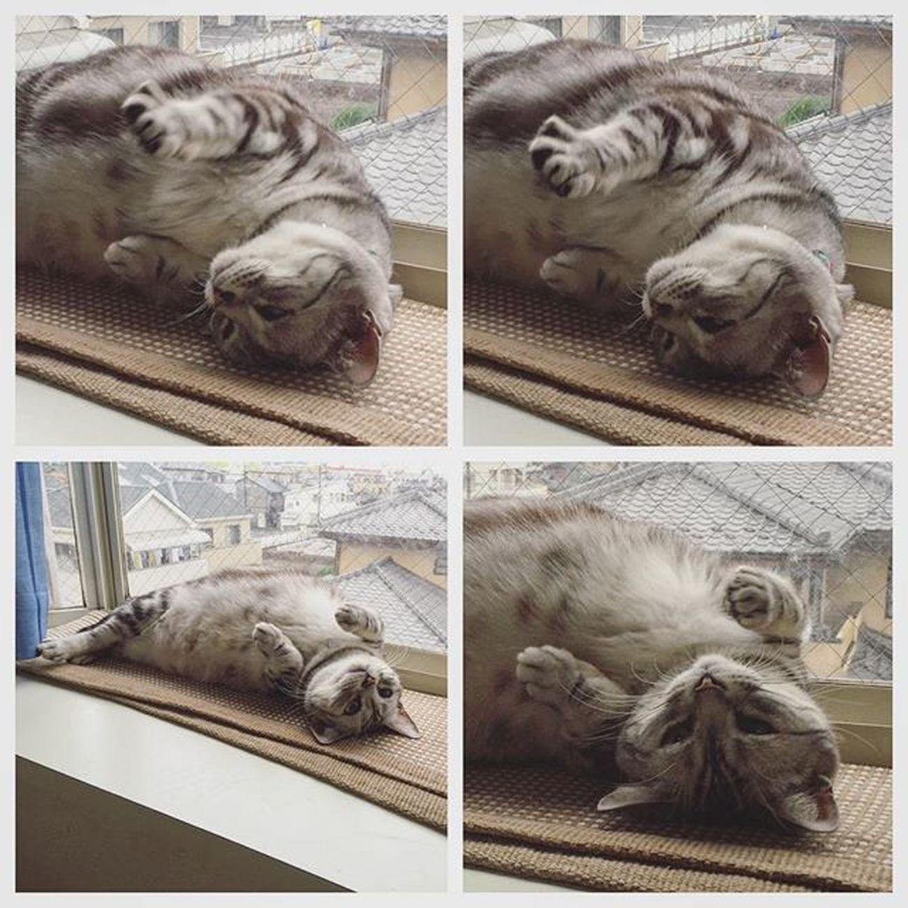 Cat Neko ねこ 猫 ねこ Cats アメリカンショートヘアー アメショ Americanshorthair ズズ ズズ子 Zuzu ズズっぺ シルバータビー ギュルゴロ ゴマフアザラシ こないだのギュルゴロズズだけど…ちょっとした手の開き具合とかたまらんとですよ😚😽💕ゴマフアザラシみたいだけどね…💦