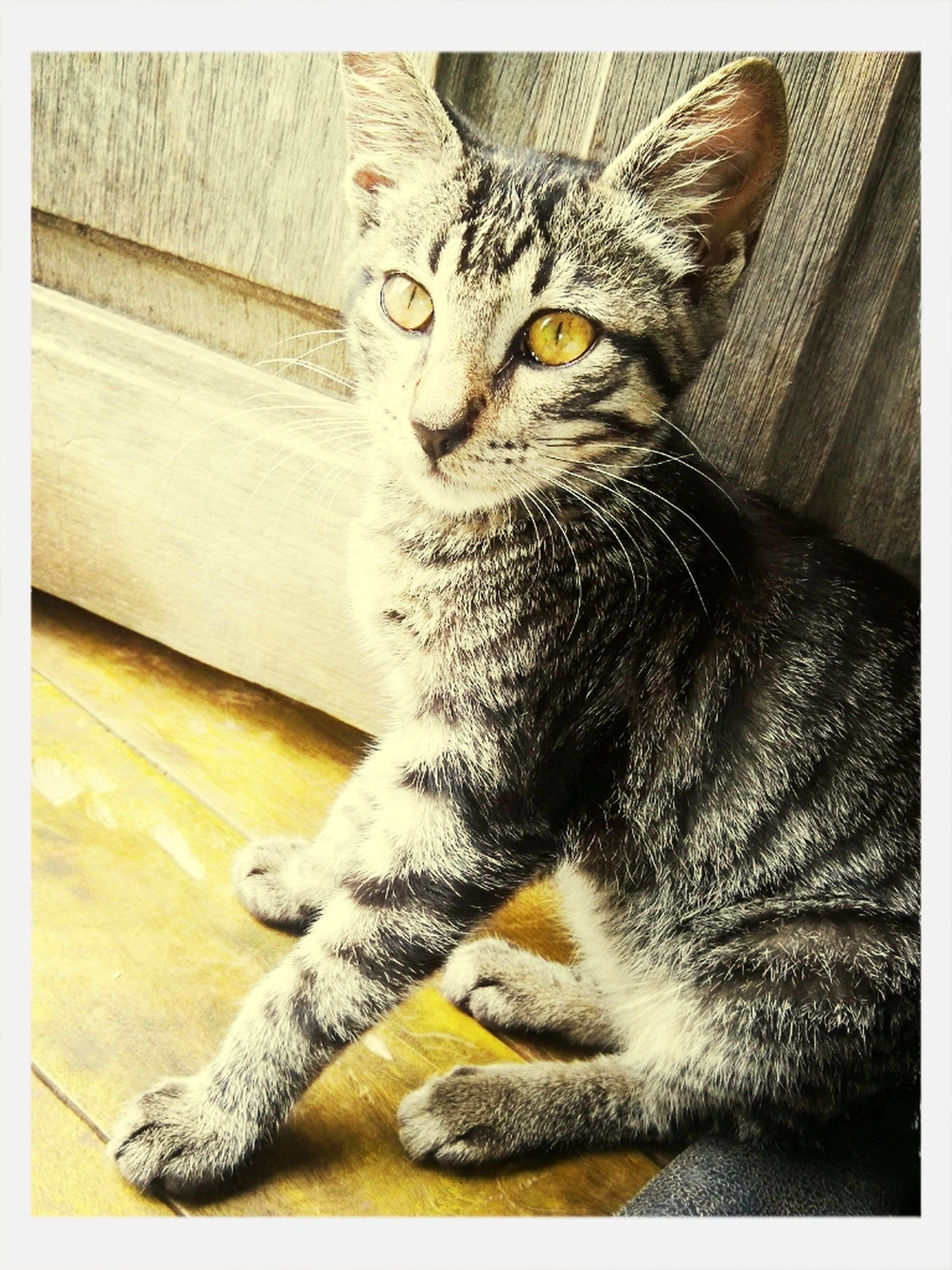 domestic cat, cat, animal themes, one animal, feline, pets, transfer print, domestic animals, mammal, whisker, auto post production filter, portrait, indoors, looking at camera, alertness, sitting, relaxation, staring, close-up, animal head