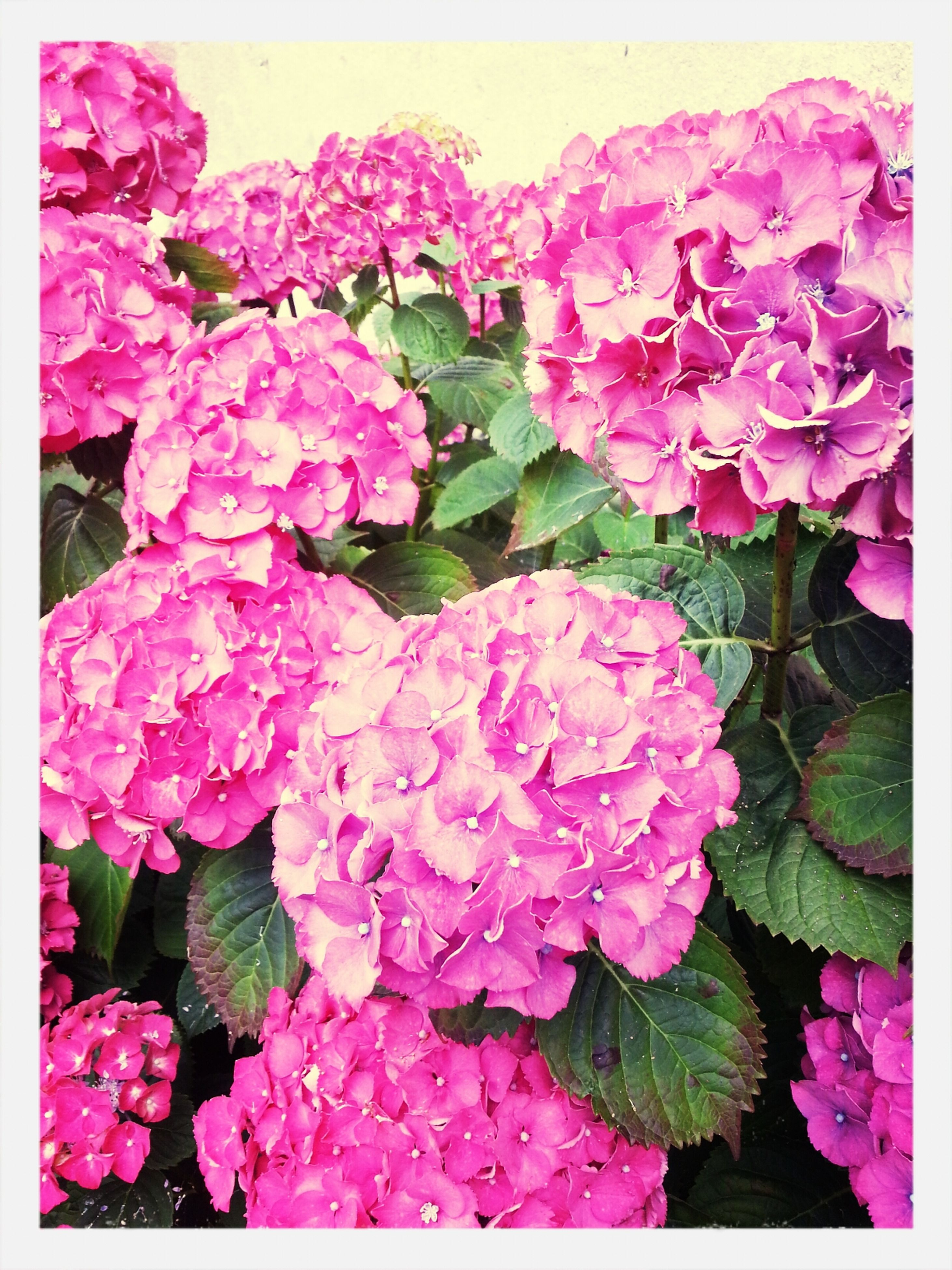 flower, freshness, transfer print, fragility, petal, beauty in nature, pink color, auto post production filter, flower head, growth, bunch of flowers, nature, blooming, close-up, plant, blossom, bouquet, in bloom, high angle view, pink