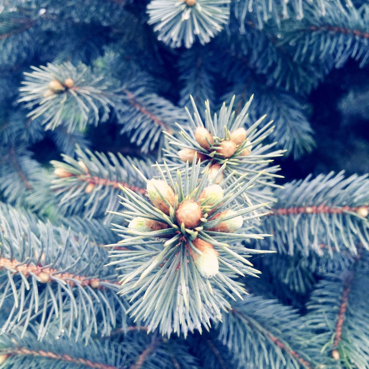 Backgrounds Beauty In Nature Blooming Blue Spruce Botany Close-up Day Flower Flower Head Focus On Foreground Fragility Full Frame Growing Growth Natural Pattern Nature No People Outdoors Plant Selective Focus Softness Spring Has Arrived Tranquility Nature Diversities Oswego, IL