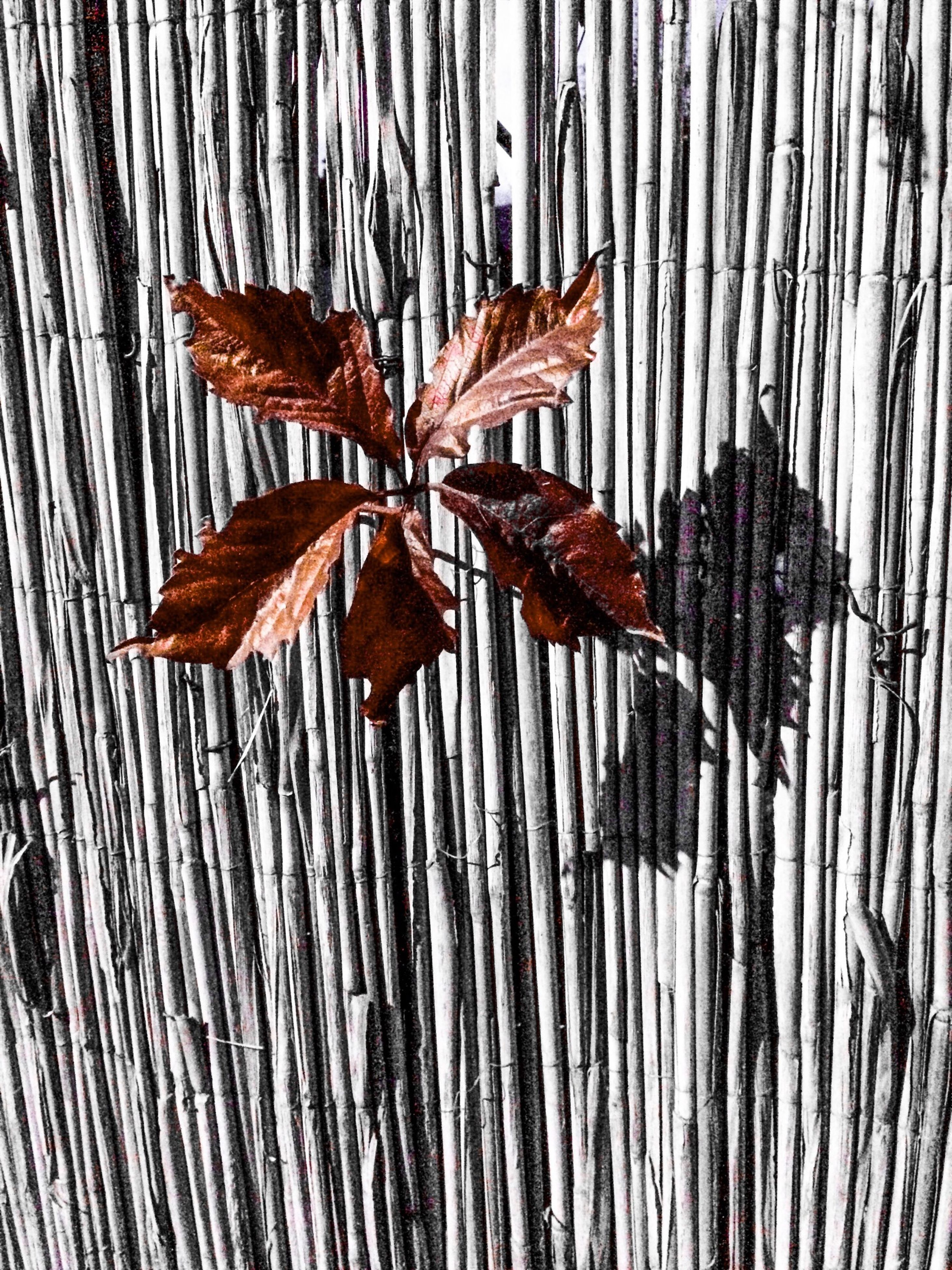 leaf, autumn, dry, change, close-up, season, leaves, wall - building feature, wood - material, aging process, textured, pattern, leaf vein, no people, day, nature, maple leaf, hanging, natural pattern, full frame
