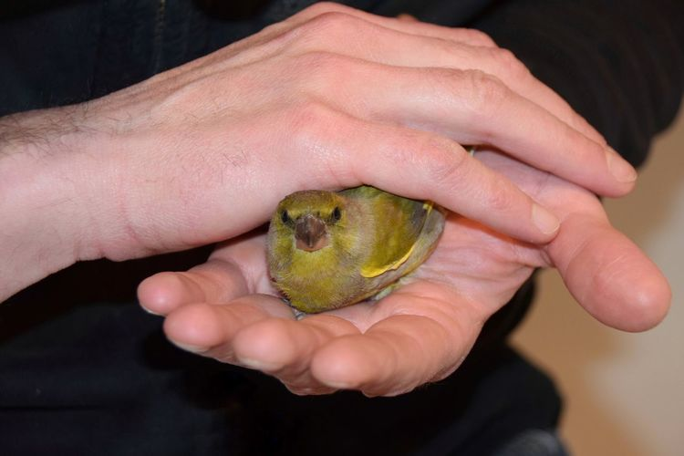 Feathered visitor Animal Rescue Beak Protect Chloris Chloris European Greenfinch Greenfinch Bird Hands Taking Care Wild Animal Animals In The Wild Human Hand Holding Human Body Part Real People One Person Close-up Green Color Men Adult People