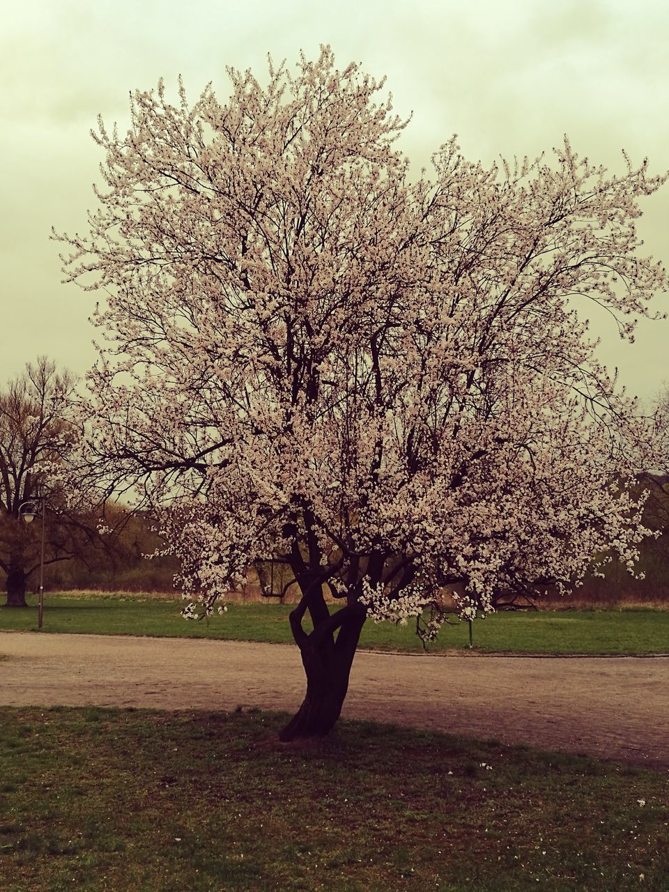 tree, blossom, nature, branch, flower, beauty in nature, growth, tranquility, springtime, fragility, no people, outdoors, lone, sky, freshness, day, grass
