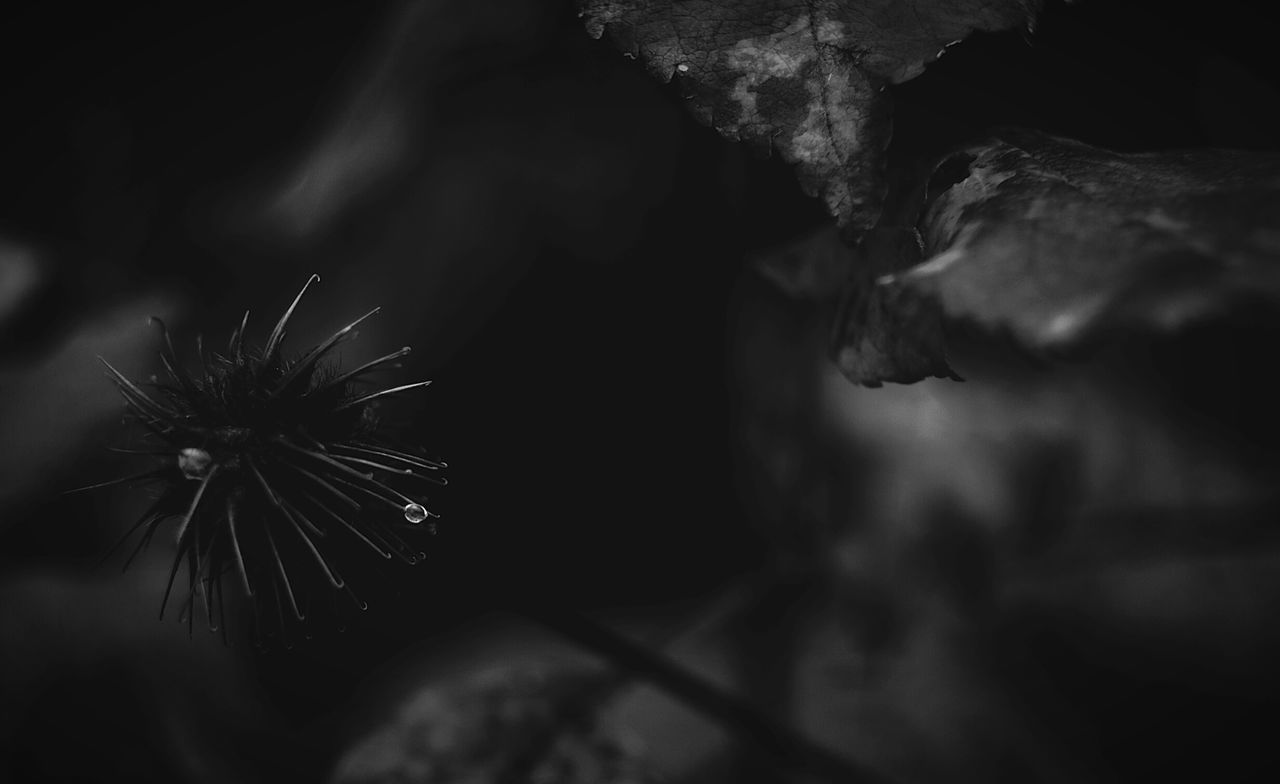 Pico Drop Pico Maximum Closeness Focus Object Monochrome Photography Nature Outdoors Beauty In Nature Fragility Black And White From My Point Of View By Ivan Maximov Our Best Pics Exceptional Photographs Barbed Wild Nature Monochrome Nature Belarus Nature Fall Without Colors