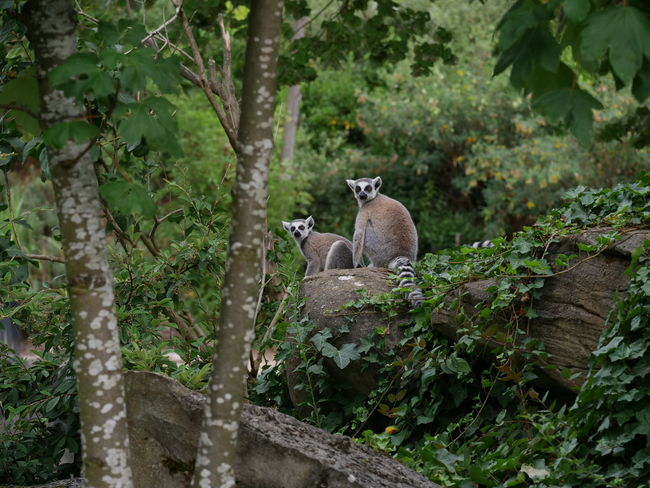 Zoo Animal Themes Animal Wildlife Animals In The Wild Day Forest Growth Lemur Mammal Nature No People One Animal Outdoors Plant Tree