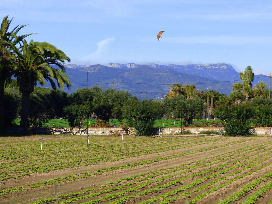 Animal Themes Baix Camp-Tarragona-Spain Beauty In Nature Day Field Flying Nature No People Outdoors Protection Of The Starlings' Harvest Scarecrow In The Form Of Rapacious Bird Sky