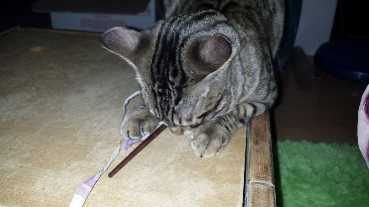 Cat Lovers Cats Playing Bengal Cat At Home Tabbycatlovers Catlover Bengalcat  Bengal Cat Lover Catlovers At Home Nature's Diversities