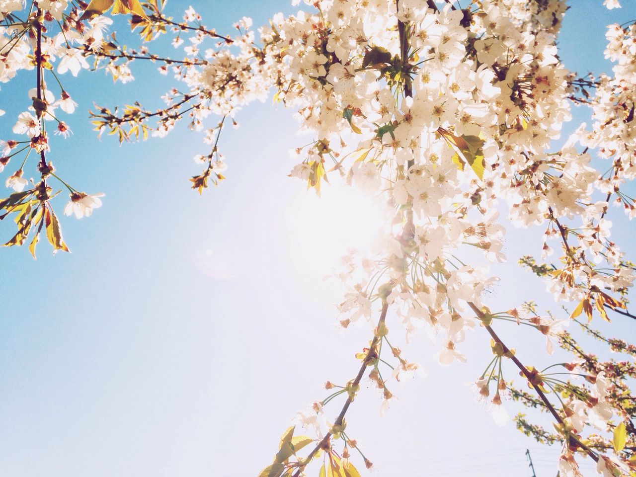 Cherry Blossoms Cherry Tree Spring Connected With Nature Nature On Your Doorstep EyeEm Bestsellers