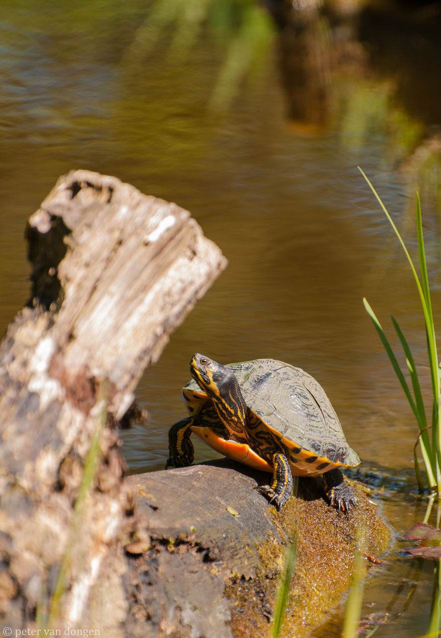 animal themes, one animal, animals in the wild, nature, no people, day, animal wildlife, outdoors, water, lake, reptile, close-up, tortoise, mammal, tortoise shell