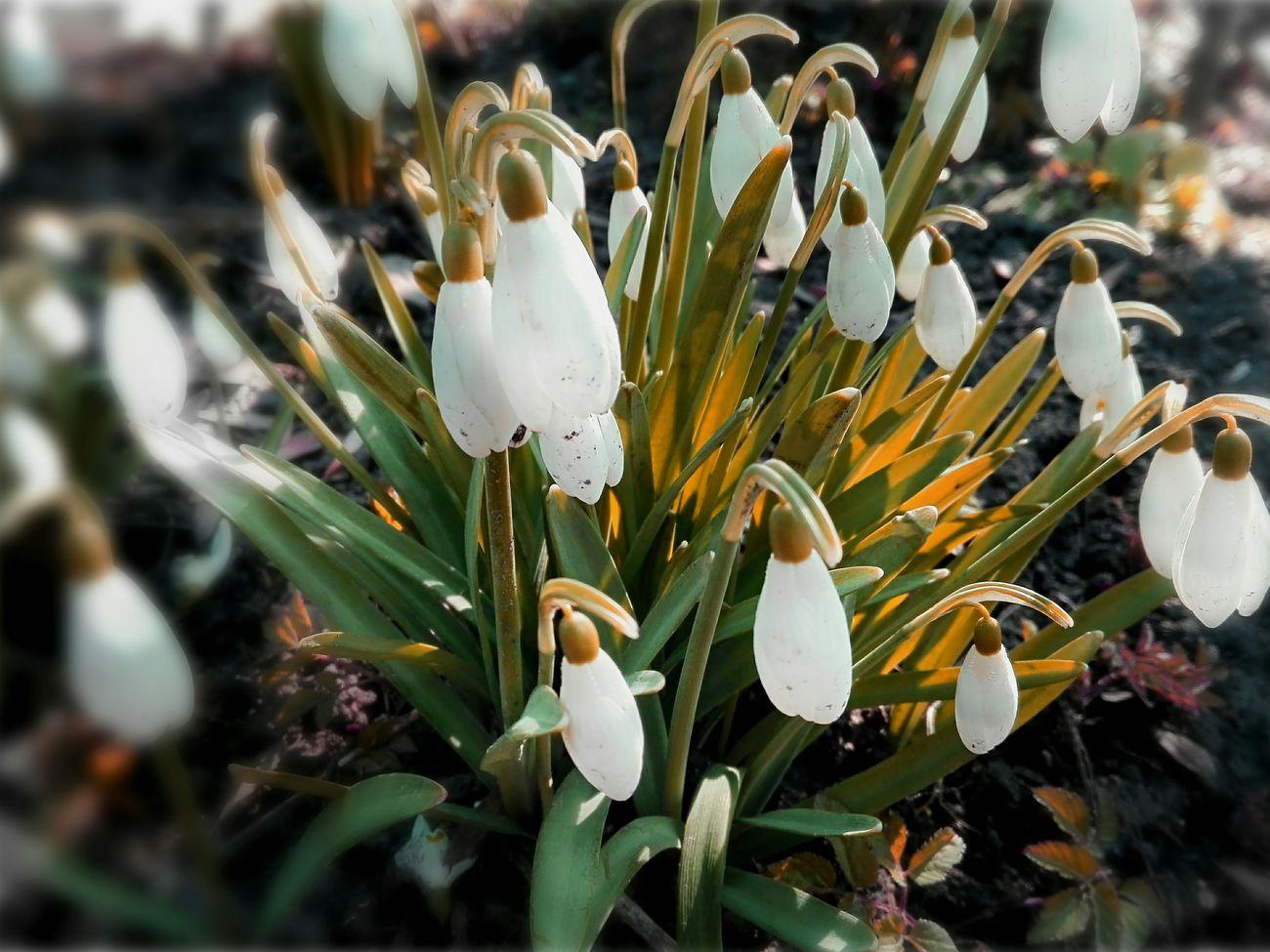 Growth Flower Plant Freshness Beauty In Nature Selective Focus Nature Leaf Day Botany Flower Head Polska Natura Przebiśniegi Wiosna😃 Kwiaty Polska First Eyeem Photo