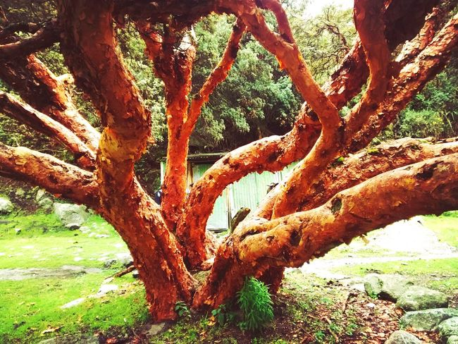 Queñual tree in Huaraz or polylepis tree because it has many skins covering itself. Nature made this like that, to protect trees from the cold cold weather in the Andean highlands. Queñual Queñual Tree Tree Red Wood Red Woods Forest Andean Tree Nature Highland Tree Polylepis Tree Skins Particular Peculiar Tree Peculiar Nature Details Nature_collection Nature Photography EyeEm Nature Lover Green Green Green!  Cold Temperature Cold Weather Contrasting Colors EyeEm Best Shots Eyeem Popular Photos Eye4photography  Showcase March