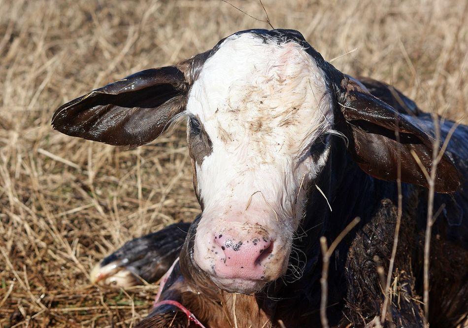Animal Body Part Animal Head  Animal Themes Bald Face Calf Close-up Grassy Livestock Mammal Newborn Newborn Calf One Animal Still Wet Zoology