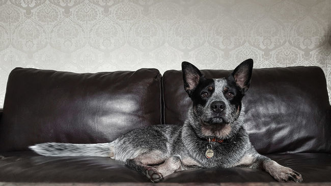 Australian Cattle Dog Blue Heeler Blue Heelers Dog Spoilt Dog Pride Pets Indoor Pets Domestic Animals Loyalty