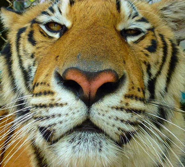 Chiang Mai | Thailand Thailand Tiger Traveling Travel Travelling Everyday Joy Stand Out From The Crowd